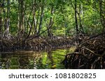 mangrove swamp with dense... | Shutterstock . vector #1081802825