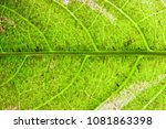 closeup texture of green leaves.... | Shutterstock . vector #1081863398