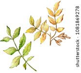 ash leaves in a watercolor... | Shutterstock . vector #1081869278