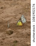 Small photo of Butterflies are insects in the macrolepidopteran clade Rhopalocera from the order Lepidoptera and Its have the typical four-stage insect life cycle