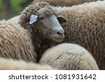 portrait of family sheep in the ... | Shutterstock . vector #1081931642