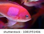 squareback anthias   squarespot ... | Shutterstock . vector #1081951406
