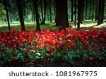 red tulips planted in an old... | Shutterstock . vector #1081967975