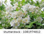 white orange flowers | Shutterstock . vector #1081974812