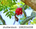 Tropical Fruits   The Pitahaya...