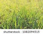 fresh green grass with water...   Shutterstock . vector #1082094515