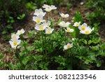 group of white japanese... | Shutterstock . vector #1082123546