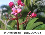 flower plumeria in a tropical... | Shutterstock . vector #1082209715