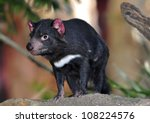 Tasmanian Devil Close Up Full...