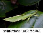 beautiful leaf insect from... | Shutterstock . vector #1082256482