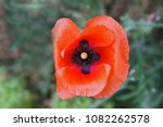 Small photo of Common poppy flower or papaver rhoeas with a dark cross in the centre in Italy in Springtime remembrance flower first world war remembering the Flanders Fields poem by Canadian John McCrae 1918 - 2018