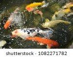 beautiful  koi  fish  swimming. | Shutterstock . vector #1082271782