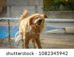 dog  golden retriever  shaking... | Shutterstock . vector #1082345942