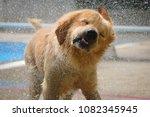 dog  golden retriever  shaking... | Shutterstock . vector #1082345945