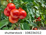 Growing Red Tomatoes In...