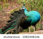 a male  indian peacock or blue... | Shutterstock . vector #1082448146
