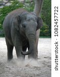 Small photo of Indian elephant playing in the sand