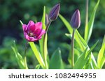 violet flowers of tulips with... | Shutterstock . vector #1082494955