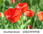 red flowers of tulips with... | Shutterstock . vector #1082494958