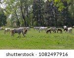 herd of horses on the spring... | Shutterstock . vector #1082497916