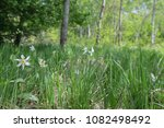 meadow of wild daffodils on... | Shutterstock . vector #1082498492