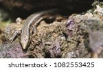 beautiful lizard closeup  macro ...   Shutterstock . vector #1082553425