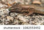 beautiful lizard closeup  macro ...   Shutterstock . vector #1082553452