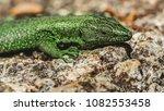 beautiful lizard closeup  macro ...   Shutterstock . vector #1082553458