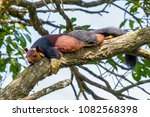 malabar giant squirrel or... | Shutterstock . vector #1082568398