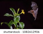 orange nectar bat  ... | Shutterstock . vector #1082612906