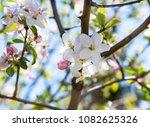beautiful apple flowers... | Shutterstock . vector #1082625326