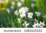 daffodils flowers outdoors in... | Shutterstock . vector #1082625332