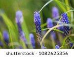 beautiful violet muscari... | Shutterstock . vector #1082625356