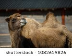 camel resting in private zoo   Shutterstock . vector #1082659826