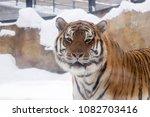 bengal tiger or panthera tigris ... | Shutterstock . vector #1082703416