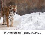 bengal tiger or panthera tigris ... | Shutterstock . vector #1082703422