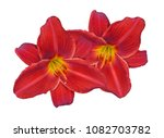 Two Red Day Lily Flower Isolate