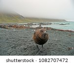 Small photo of A skua ate my camera! These birds are the ultimate scavengers, living on the edge of seal and penguin colonies, eating carrion, and stealing eggs or chicks when they can. Macquarie Island, Australia
