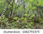 Stock photo autumn forest selva de irati fall beech jungle in navarra pyrenees of spain 1082792375