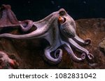 purple common octopus ... | Shutterstock . vector #1082831042