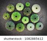 Green Sea Urchin Shells On Dark ...
