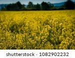 rape field on a sunny day | Shutterstock . vector #1082902232
