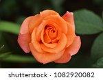 Blooming orange rose growing in ...