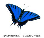 Small photo of Two-tailed swallowtail butterfly, Papilio multicaudata, isolated on white background. The largest of the US tiger sawllowtails, this one has even three tails on each wing. Color change to blue