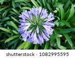 Agapanthus Flower In The Garden.