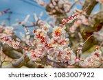 pink blossom sakura flowers on...   Shutterstock . vector #1083007922