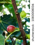 fig fruits on the branch tree...   Shutterstock . vector #1083008036