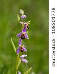 A bee orchid flower at the RSPB Conwy reserve North Wales