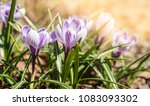 the first spring flowers crocus.... | Shutterstock . vector #1083093302