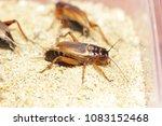House cricket, African cricket, Mediterranean field cricket, Two-spotted cricket, Gryllus bimaculatus